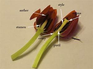 Flower Dissections  Tulips And Daisies