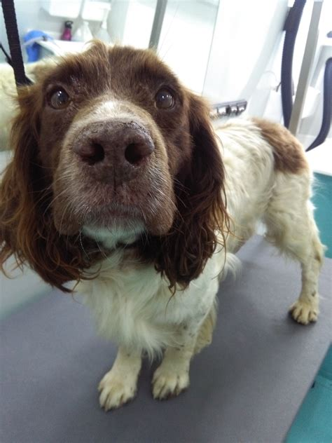solo  spaniel   dog grooming cork works