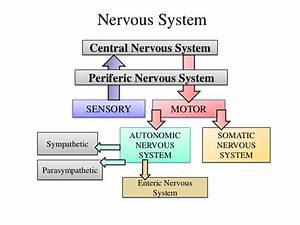 Are Autonomic Nerves Motor Or Sensory