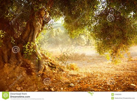 Bid Stock Olive Tree Stock Photos Royalty Free Stock Images