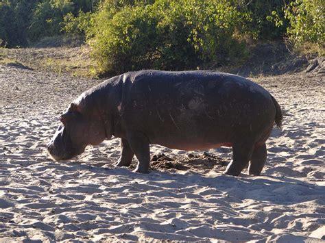 Hipopotam w parku Chobe