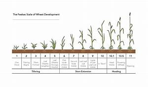 Growth Stages Chart