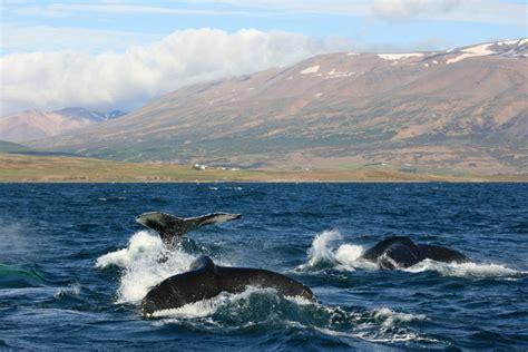 Rib Boat Tours Reykjavik by Rib Boat Whale From Reykjavik