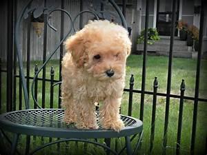 17 mejores ideas sobre Mini Goldendoodle en Pinterest ...