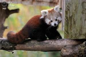 Lesser panda or red panda - a mammal of the family ...