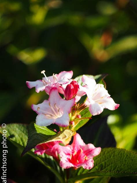 green shrub with pink flowers flowering shrubs spring blooms and green leaves on pinterest