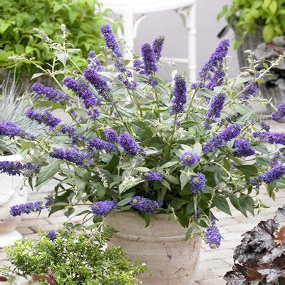 can i grow buddleia in a pot buddleia blue chip miniature parkers wholesale