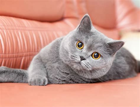 Shorthair Cat by Shorthair Cat Breed Information Pictures
