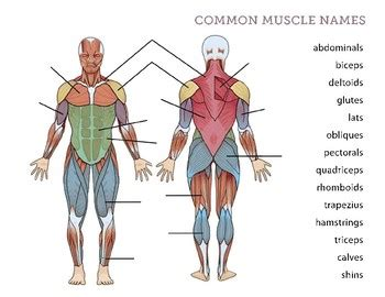 However, the muscle names often reflect something about their action, their shape, or their locations. Human Body - Muscles by La Paloma | Teachers Pay Teachers