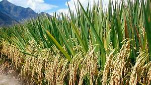 Rice Cultivation Information Guide