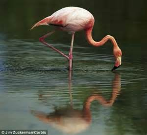 Flamingoes use make-up: Colourful birds use pigments to ...