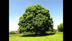 Baum Der Liebe : die linde baum der liebe youtube ~ Eleganceandgraceweddings.com Haus und Dekorationen