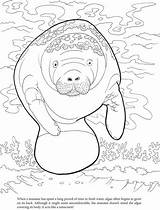 Manatee Coloring Algae Pages Manatees Sheets Printable Cute Crafts Dugong Template Dover Adult Publications West Patterns Drawings Doverpublications Animal Books sketch template
