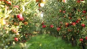 Apple Picking Wallpapers