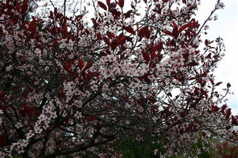 cherry tree with purple leaves purple leaf sand cherry prunus x cistena knowledge base lookseek com
