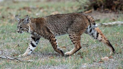 bobcat wild cats lynx cat north bobcats animals american bob species northern calero roux creek trail genus tail maine canada