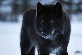 black wolf-dog keeps h...