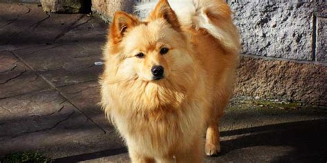 german spitz dog breeds info characteristics facts