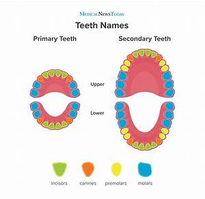 Teeth Names  Diagram  Types  And Functions