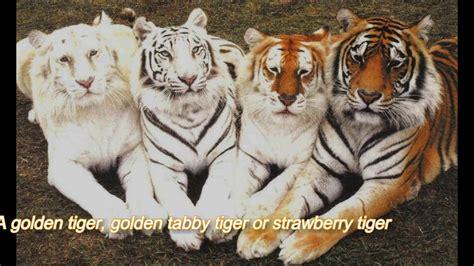 Golden Tabby Tiger The Rarest Animal Youtube