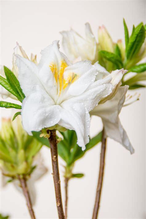 Rhododendron Winterfest Machen Garten by Rhododendron Persil Rhododendron Luteum Persil G 252 Nstig
