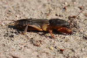 Großes Loch Im Garten Welches Tier : die maulwurfsgrille h sslich aber harmlos nabu ~ Lizthompson.info Haus und Dekorationen