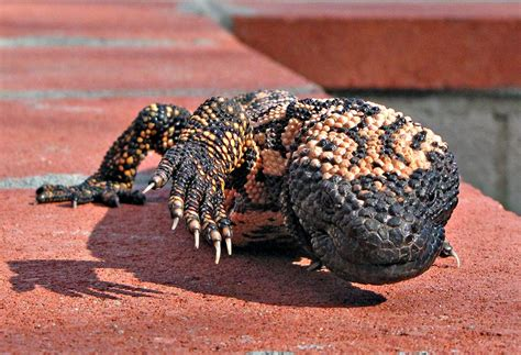 Gila Monster - Is It Actually a Monster?