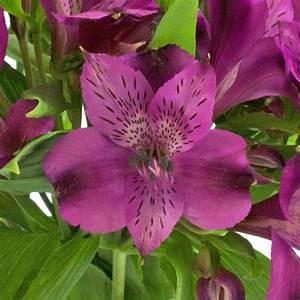Purple Peruvian Lilies Flower