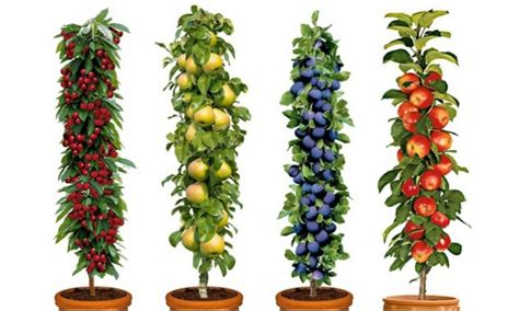 miniature fruit trees fruit trees set groupon goods