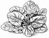 Spinach Drawing Psf Getdrawings sketch template