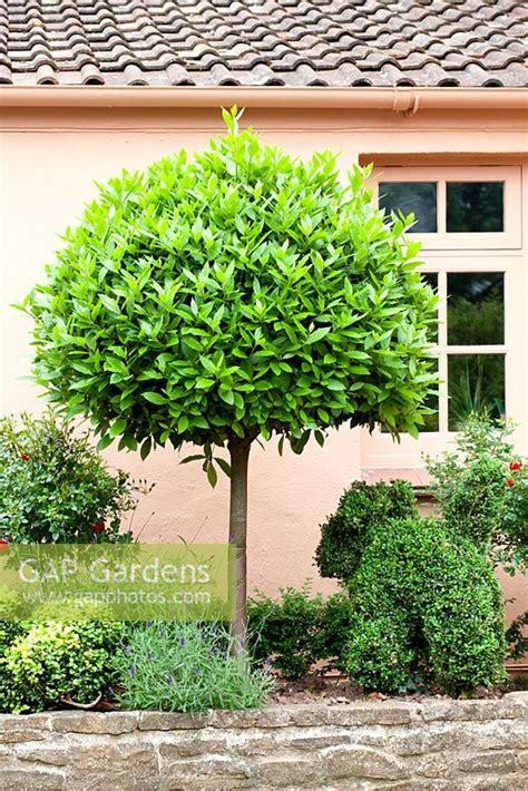 Gap Gardens  Standard Bay Tree And Topiary Shaped Shrubs