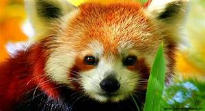 Cute Baby Red Panda | Amazing Wallpapers