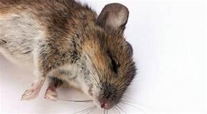Répulsif Souris Efficace : l ultrason contre les souris est il efficace rats souris ~ Melissatoandfro.com Idées de Décoration