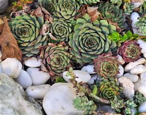 Plante Succulente Espèces Représentatives : succulente d 39 int rieur et d 39 ext rieur joubarbe et echeveria ~ Nature-et-papiers.com Idées de Décoration
