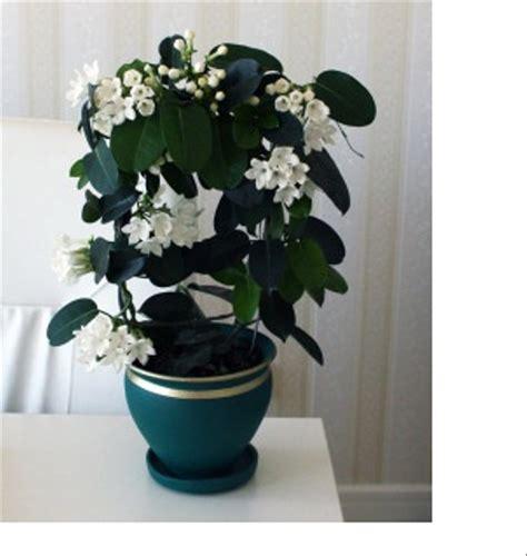 jual tanaman hias merambat bunga stefanot putih lapak