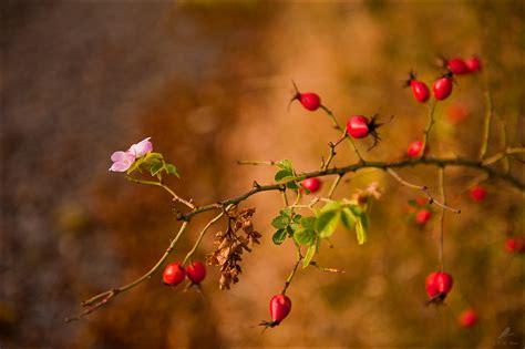 herbstliche hagebutte forum fuer naturfotografen