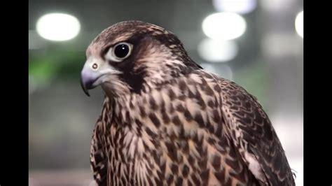 aves el halcon peregrino el animal mas veloz del mundo