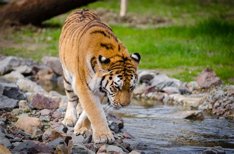 Tiger Near River At Daytime Free Stock Photo
