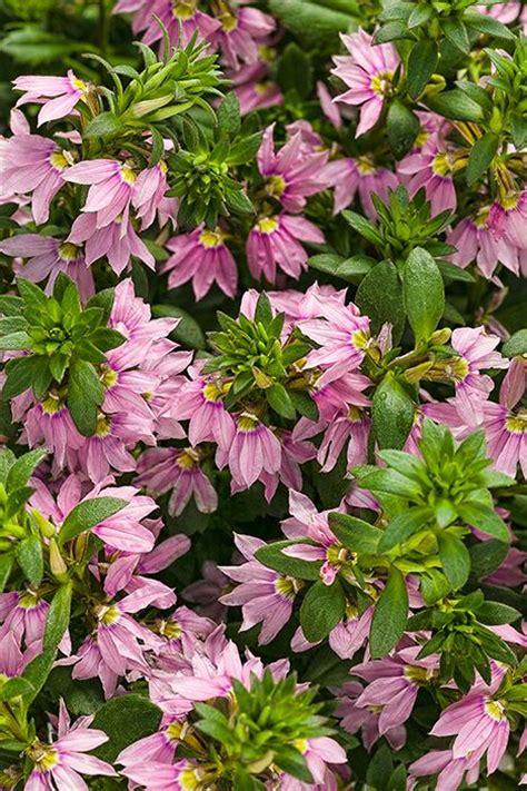 sun border plants pink wonder 174 fan flower scaevola aemula gardens border plants and sun