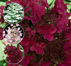 Hortensie Wims Red : rispenhortensie wims red rispenhortensie wim s red kaufen ~ Michelbontemps.com Haus und Dekorationen