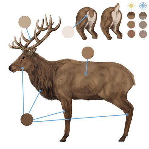 draw animals deer species  anatomy