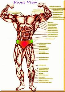 Anatomy And Physiology Functional Kinesiology Anatomy