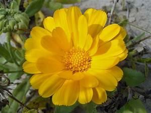 Gelbe Winterharte Pflanzen : sommerblumen die sommerblume ~ Markanthonyermac.com Haus und Dekorationen