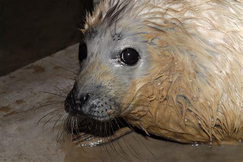 Jūras piekrastē novērots veselīgs roņu mazulis ...