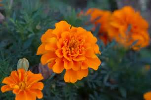 Do Marigold Flowers Repel Mosquitoes
