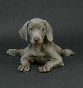 196 Best images about WONDERFUL WEIMARANERS SWEET SHIHTZUS ...