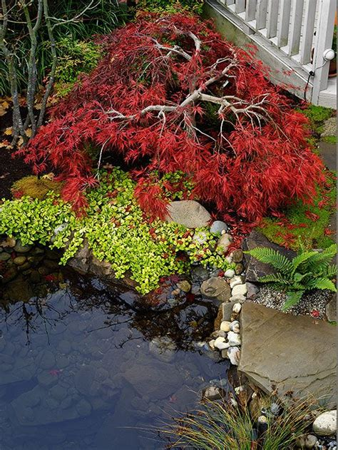 small japanese maple all about japanese maples