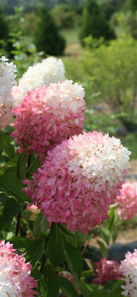 Garden Answer Age by Zinfin Doll 174 Panicle Hydrangea Hydrangea Paniculata