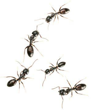 rid  ants   kitchen