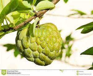 Custard Apple Tree Clipart | www.imgkid.com - The Image ...